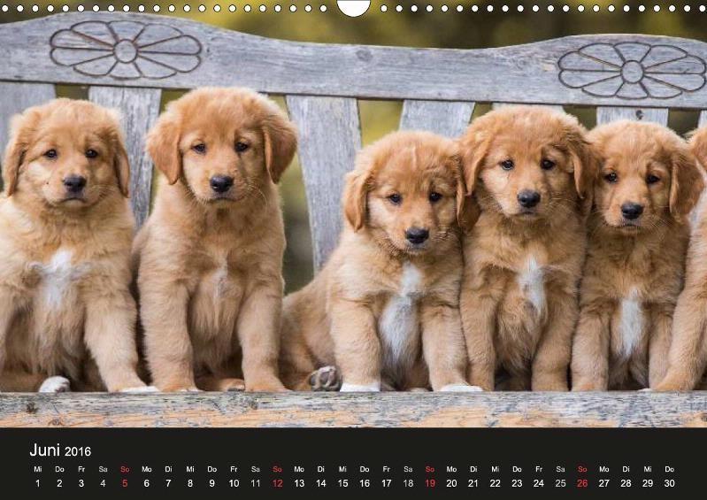 Toller Nova Scotia Duck Tolling Retriever Calvendo Kalender Von Anna Auerbach Dog Breeds Nova Scotia Duck Tolling Retriever Dogs Golden Retriever