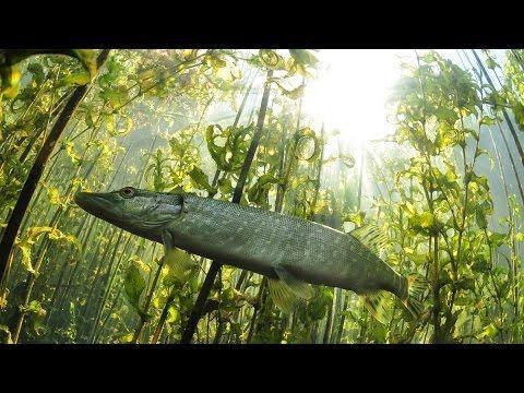 Щука-травянка. Ловля щуки на лягушку. (Кокшетау, р.Чаглинка ...