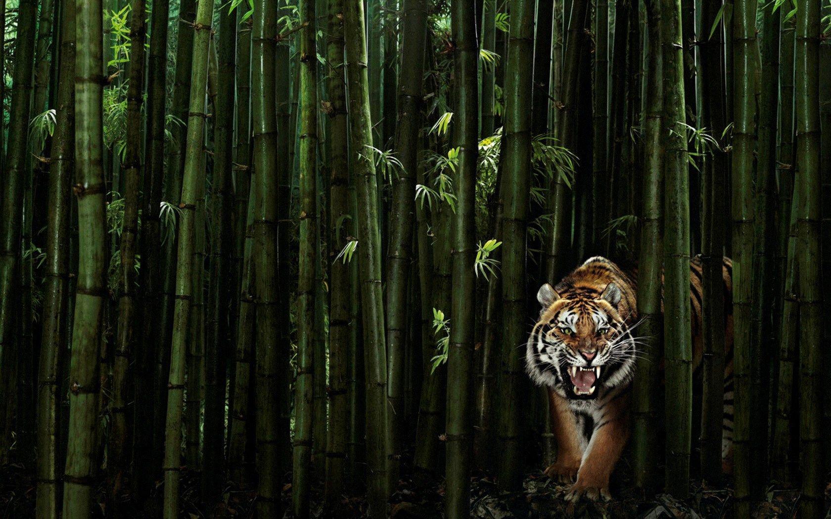 Nature animals wallpaper 1920x1280 nature animals tigers wildlife - Free Screensaver Tiger Picture Buford Grant 2017 03 07 Tiger Wallpaperanimal