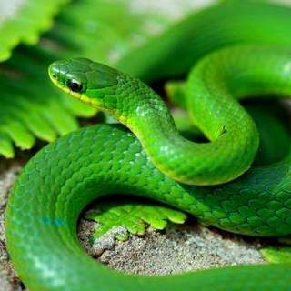 Green Snake 2 Herpetological Resource And Management Llc Green Snake Snake Animal Symbolism