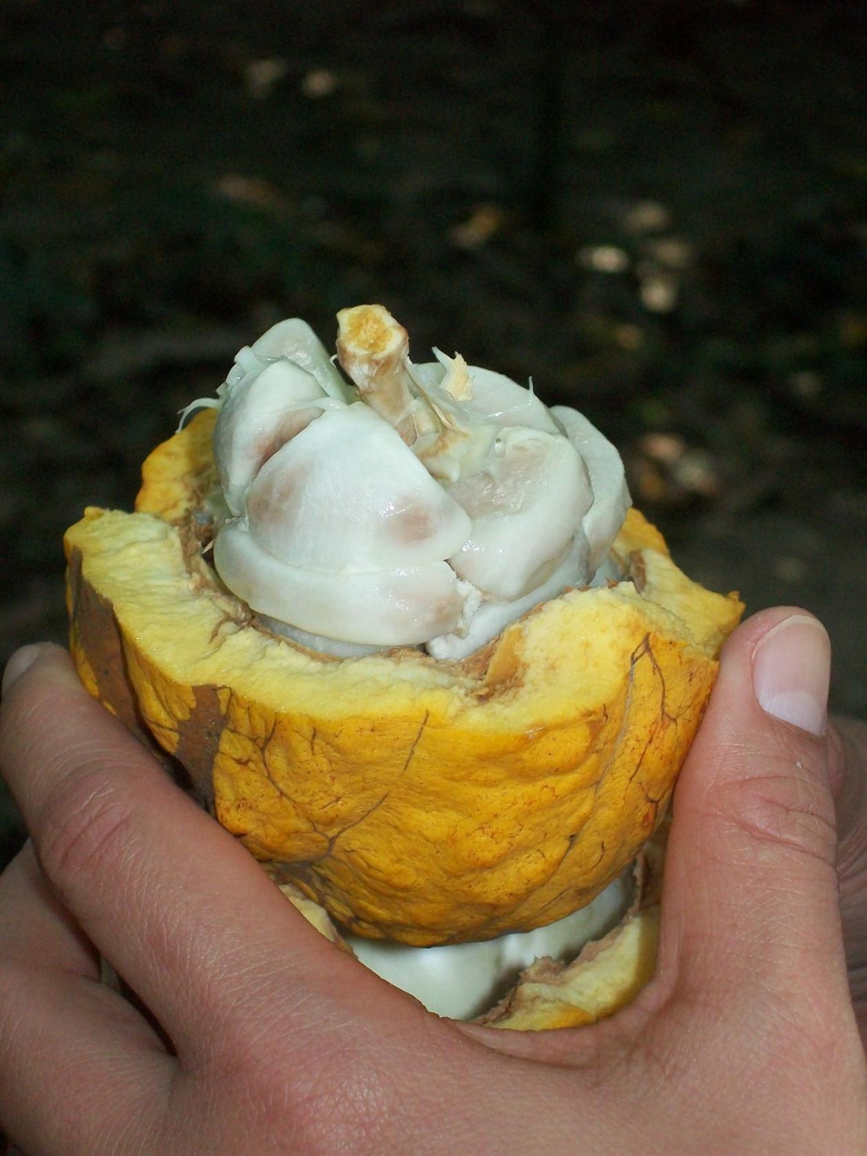 Cacao al fruto del rbol de cacao o cacaotero se le llama for Como cocinar mazorcas de maiz