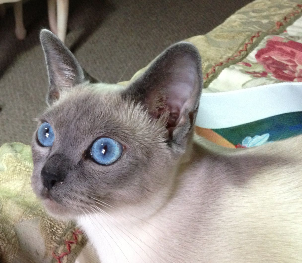 My Tonkinese Kitten Tonkinese Kittens Tonkinese Cat Cats And Kittens