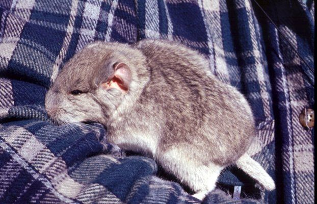 Ashy Chinchilla Rat Animals Chinchilla Rats