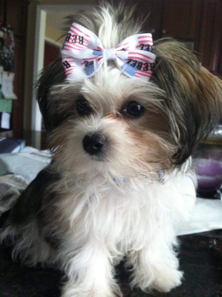 Romeo 3 Maltese Shihtzu Mix 3 Months 3 Lbs Cute Dogs Dogs Maltese