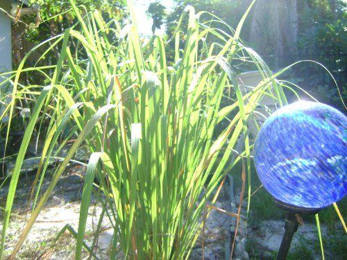 Lemongr Rooted Plant Stalks Fever Gr Artvine Nursery