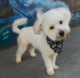 Jax is an adoptable Bichon Frise Dog in Los Angeles, CA  You