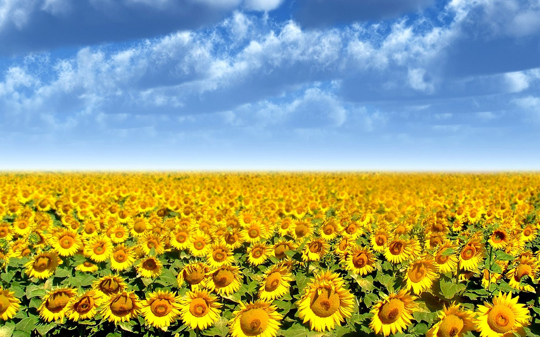 Sunflower Field Flowers 1080p HD Wallpaper For Desktop