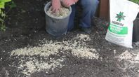 How to Grow Potatoes in a Barrel of Sawdust #Barrel #Grow #Potatoes #Sawdust #growingpotatoes