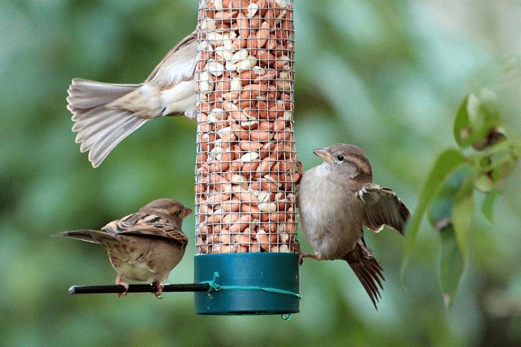 Jenis Makanan Burung Gereja Terbaik Untuk Usia Anakan Dan Dewasa
