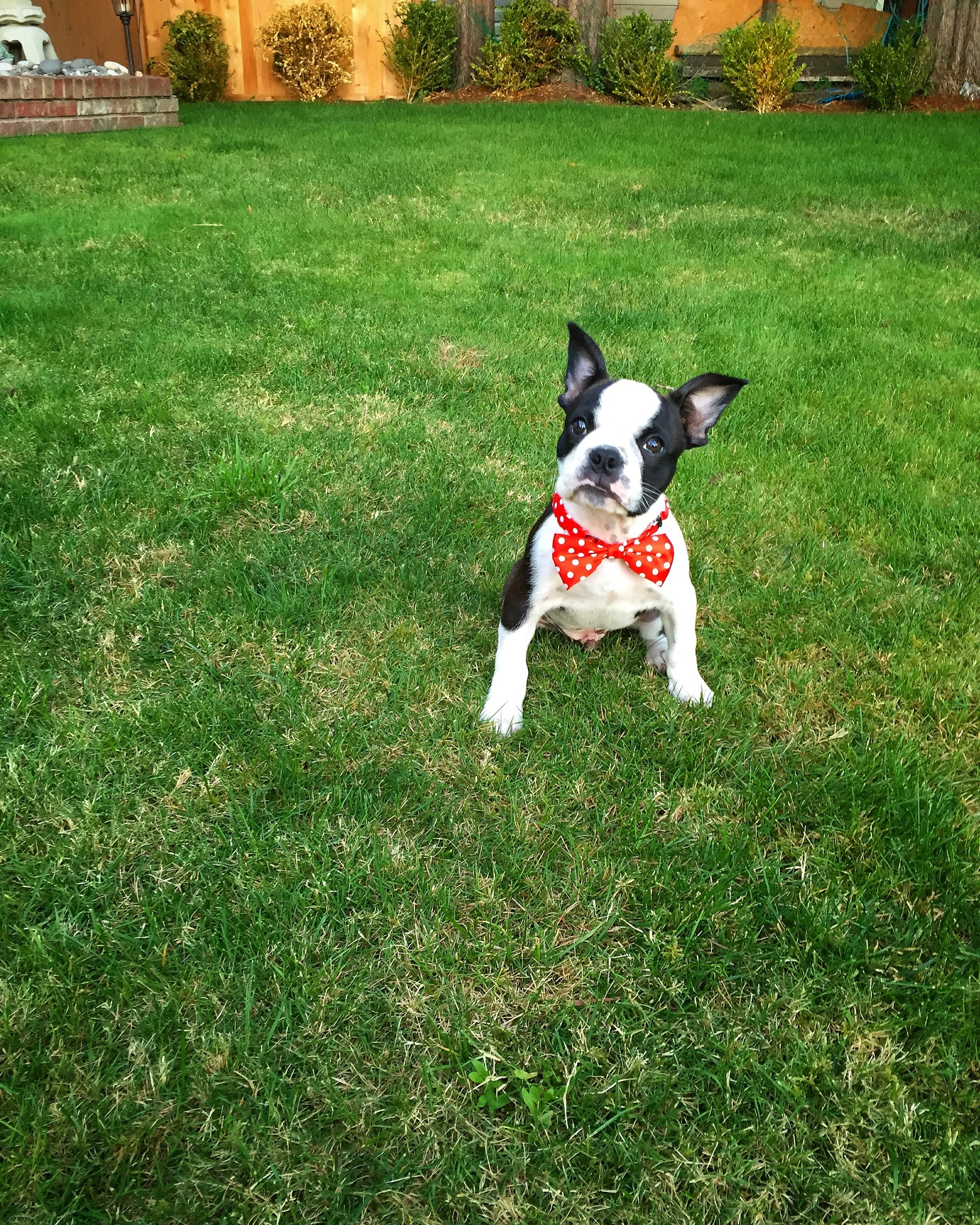 Frenchton Puppy 3 Months Boston Terrier French Bulldog Boston Terrier Terrier Puppies