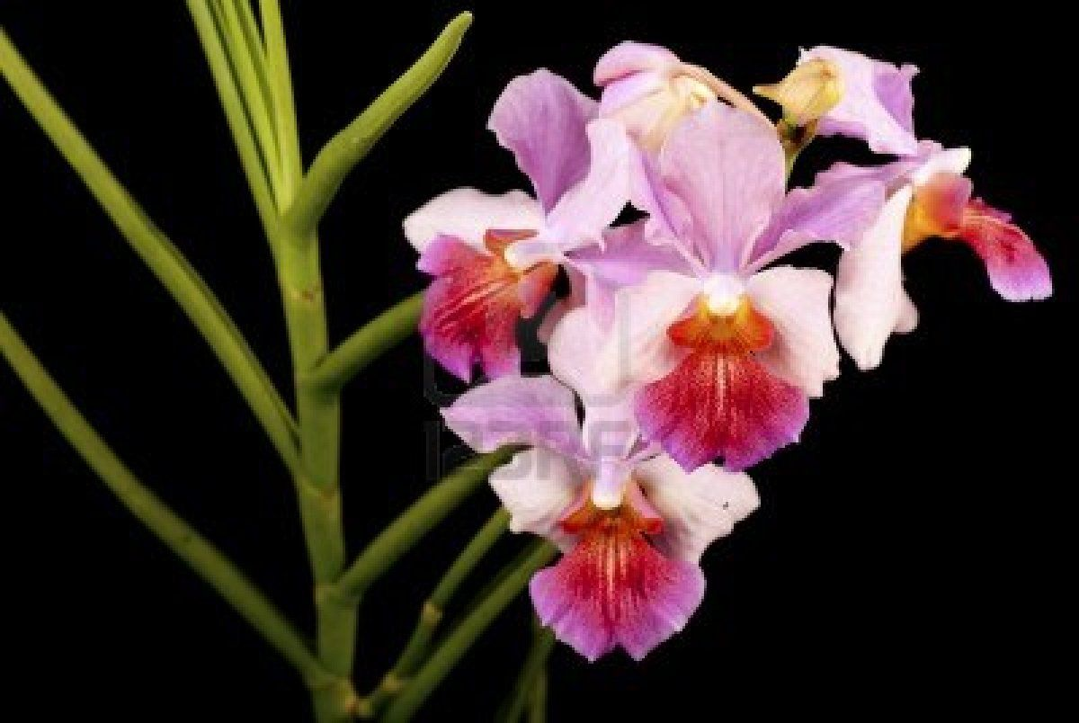 Vanda Miss Joaquim With Teret Leaves 2014 Orchids Rare Flowers Amazing Flowers