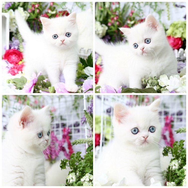 Pin On Persian Cats
