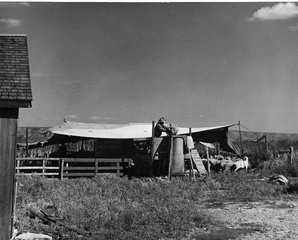 Bagging wool in Texas, 1950