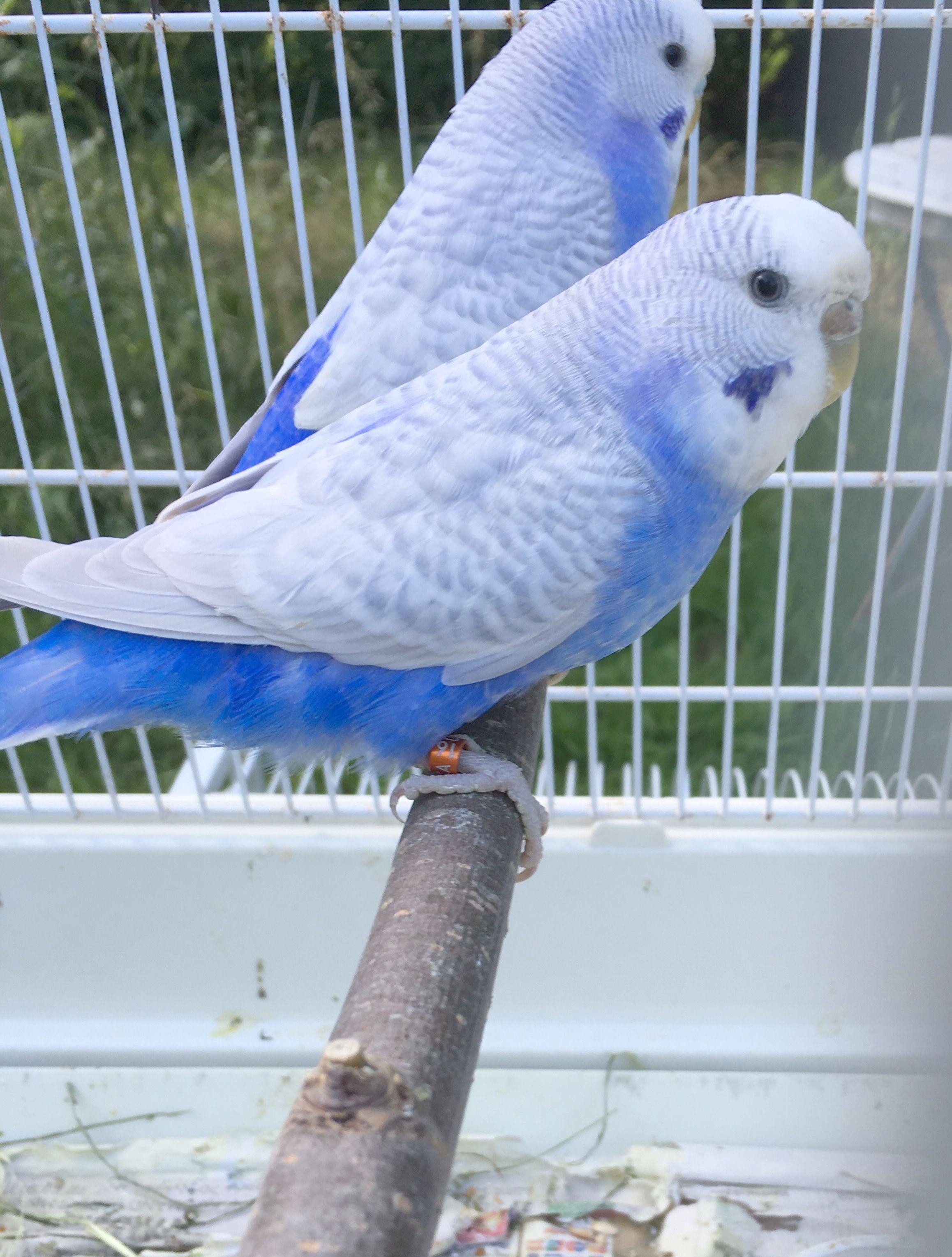 Get Some Parakeets For Sale At Petco Xoxo In 2020 Budgies Bird Cute Birds Pet Birds