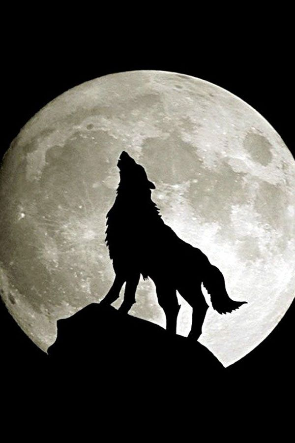 Howling Wolf IPhone Wallpaper Tjn