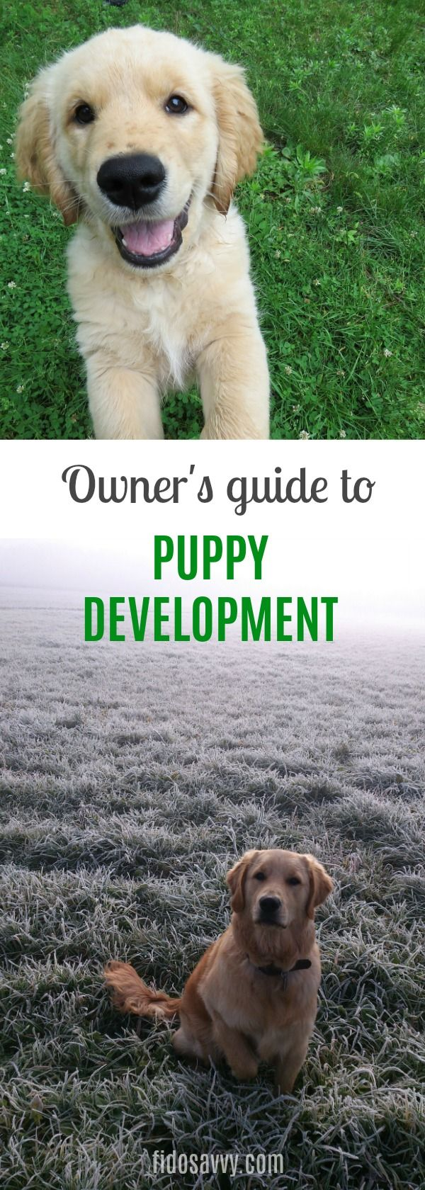Puppy Development And Growth Stage By Stage Guide Dogs Golden