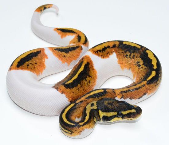 Ball Pythons For Sale Online Baby Ball Python Morphs For Sale Near Me Baby Ball Python Pythons For Sale Ball Python Morphs