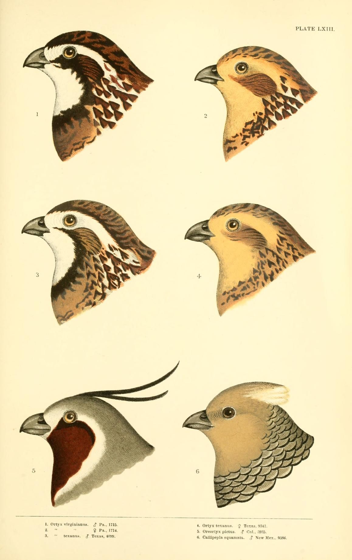 Ortyx, Callipepla and Oreortyx. A history of North American birds v.3 Boston :Little, Brown,1905. Biodiversitylibrary. Biodivlibrary. BHL. Biodiversity Heritage Library