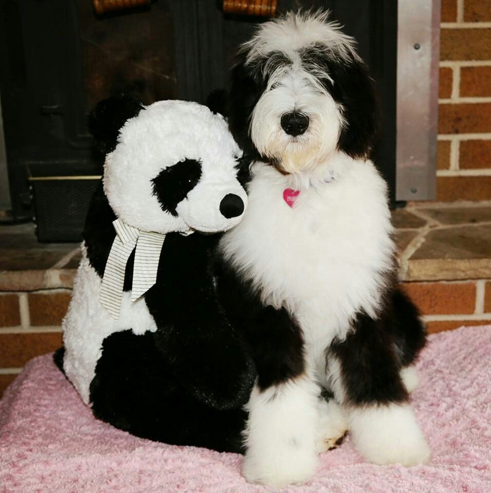 Panda Sheepadoodle 6 Months Follow Panda On Instagram