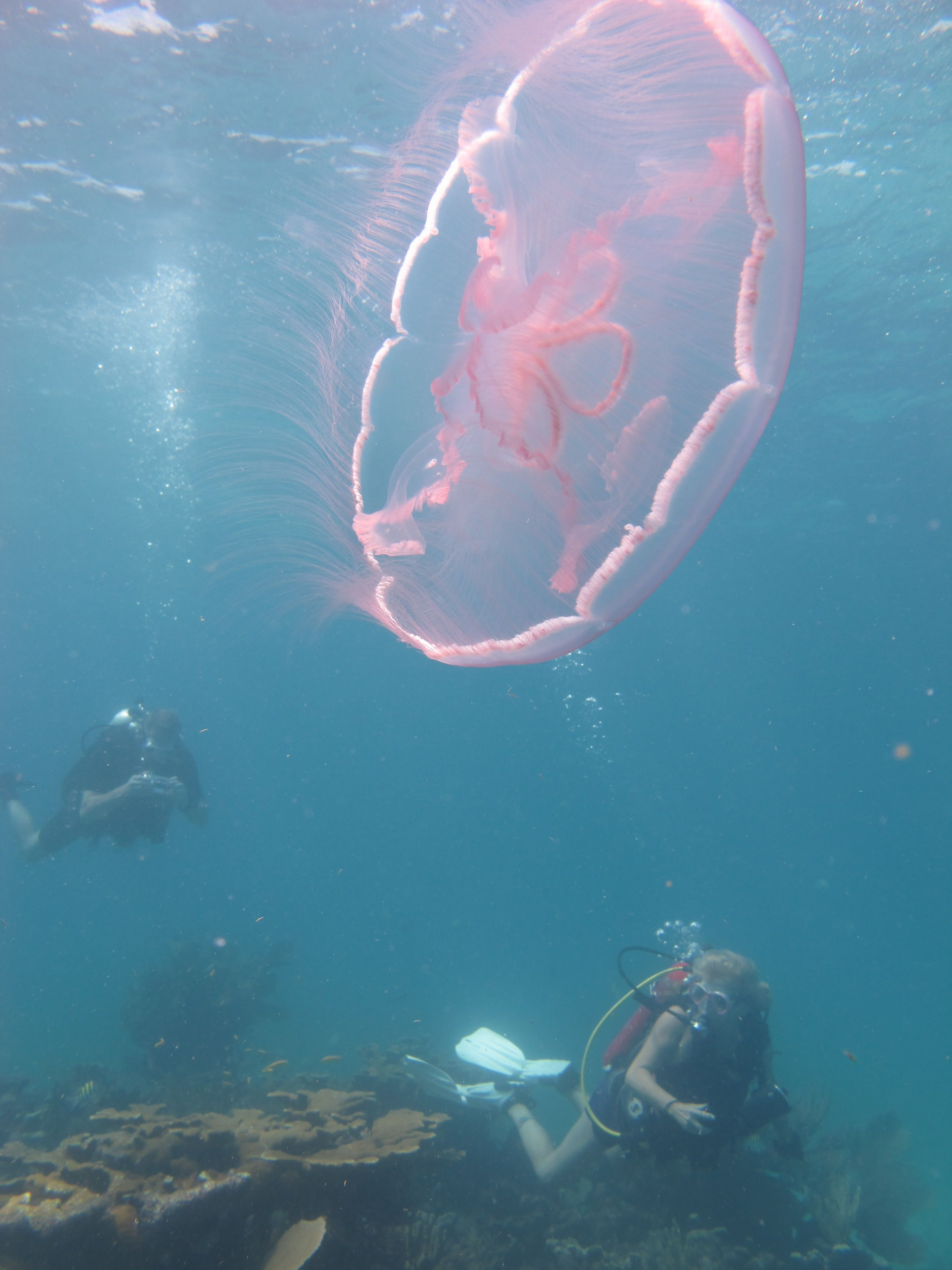 N N Dry Rock Reef Key Largo Moon Jelly And Divers Sea Jellies Types Of Jellyfish Jellyfish