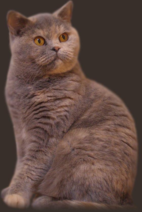 Beautiful Blue Cream British Shorthair British Shorthair