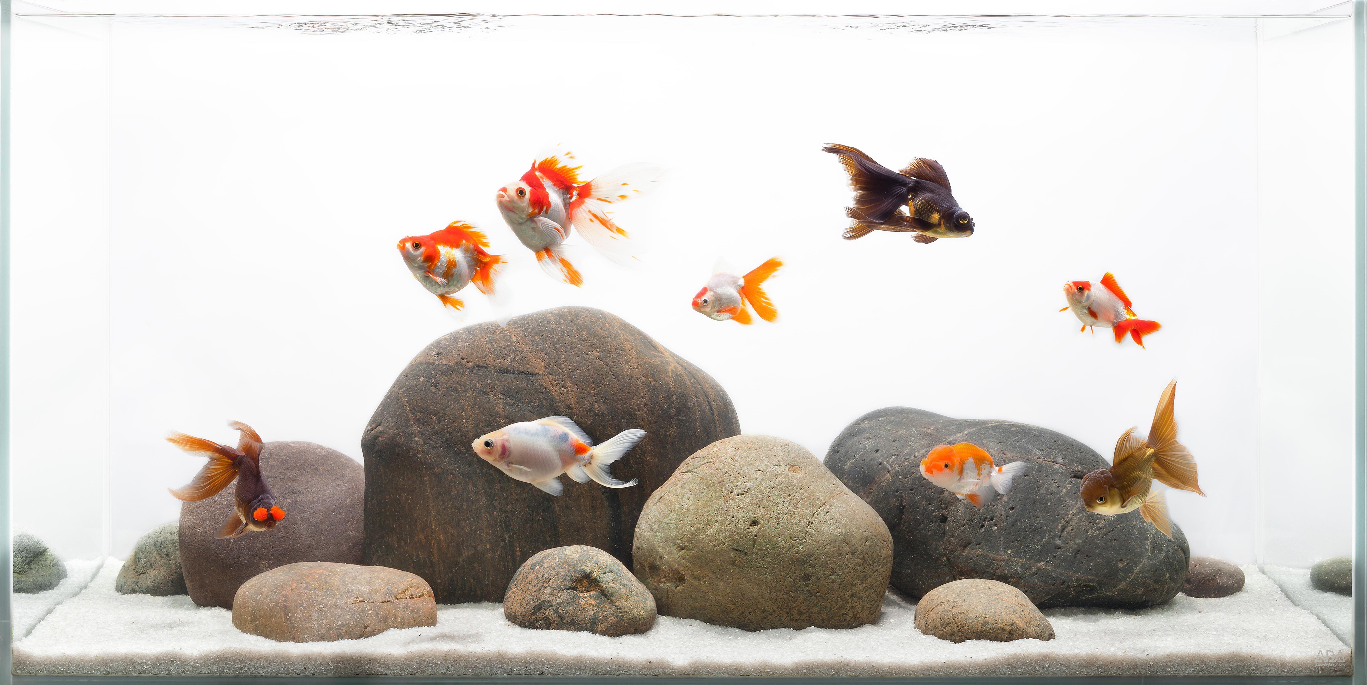 I love this goldfish aquascape! Pretty goldies too, my