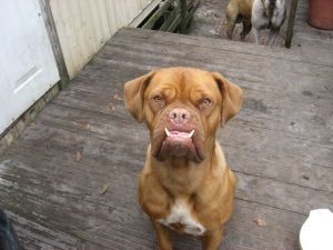 Adopt Roxy / Jacksonville, FL on Bordeaux dog, American