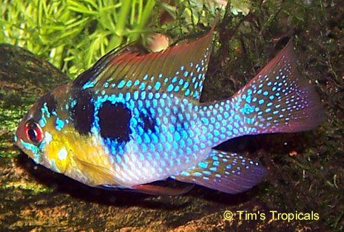 German Blue Ram Cichlid Cichlids Fish Tropical Fish