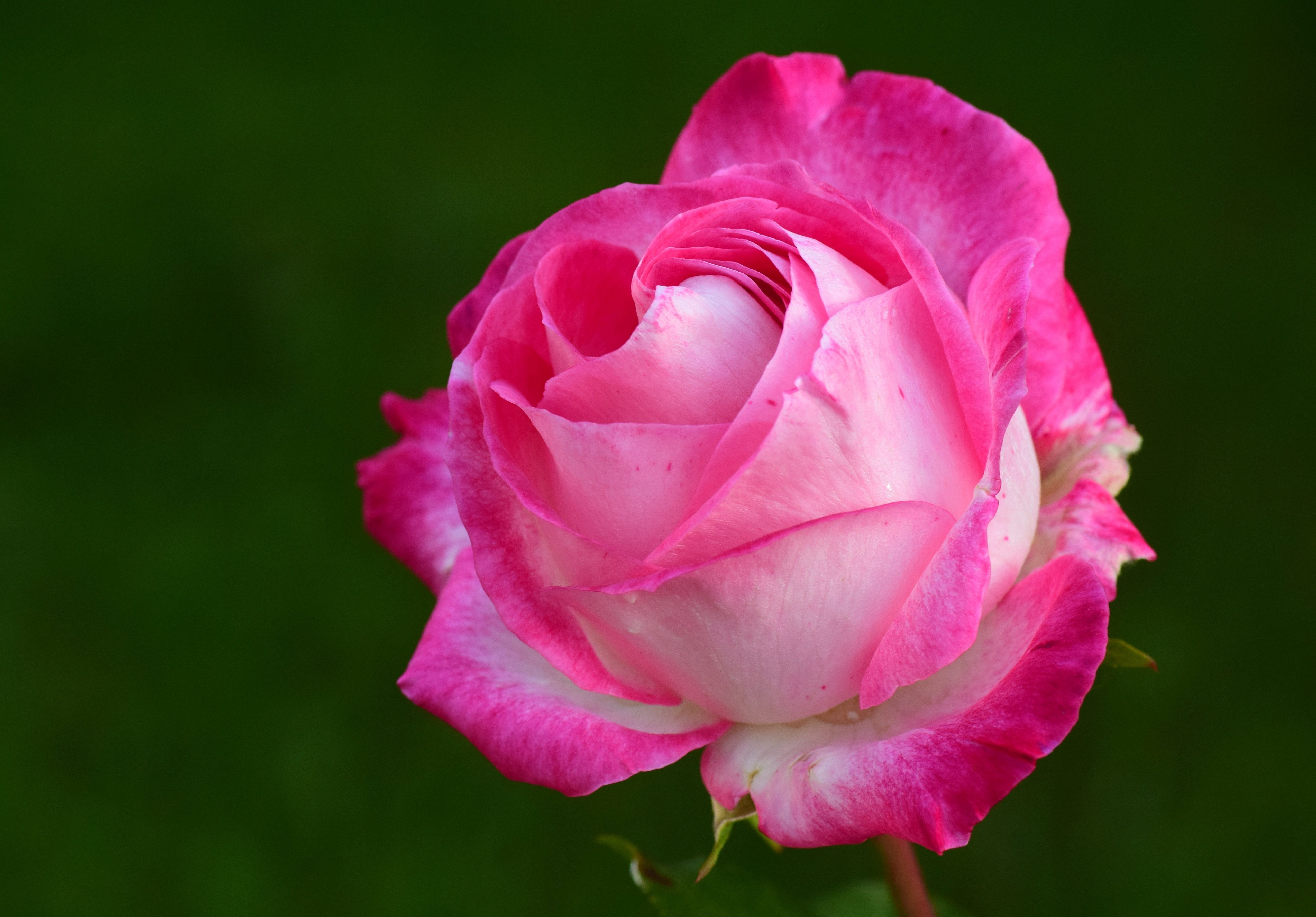 Pink Rose Beautiful Flowers Flower Desktop Wallpaper Rose Bloom