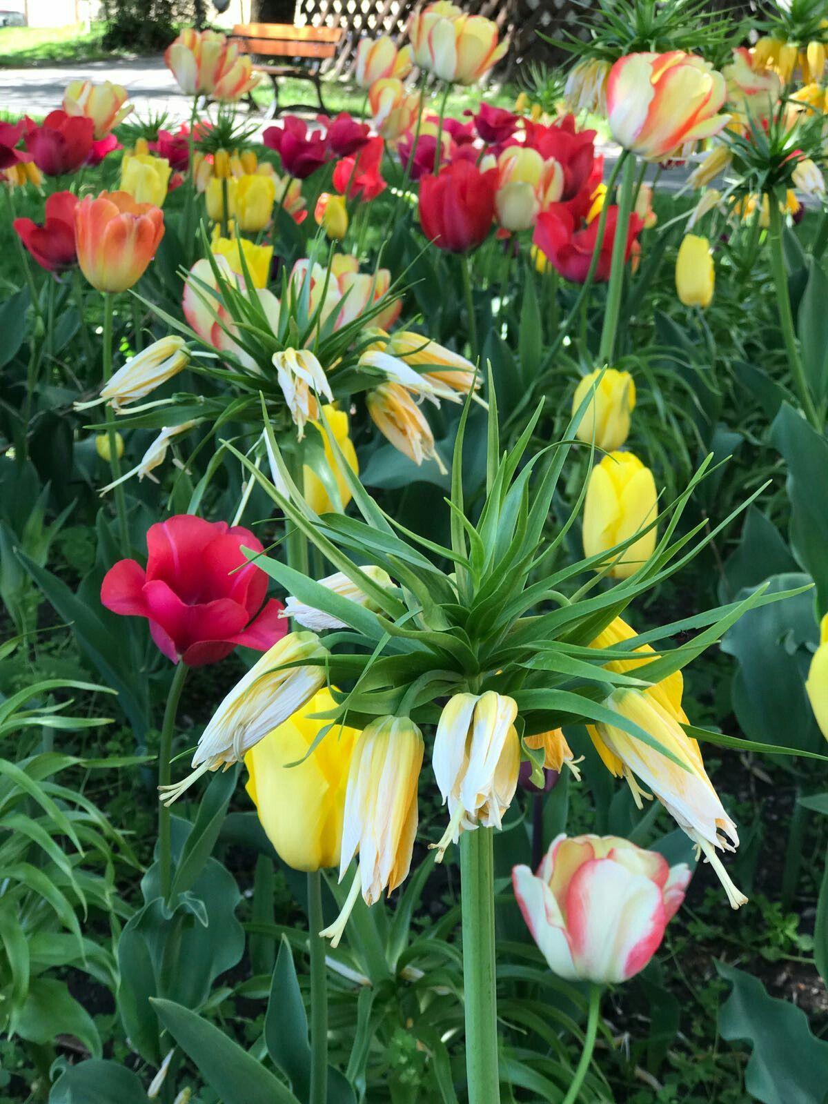 Canteiro de tulipas-  Embrun-  França.  Abril de  2017.