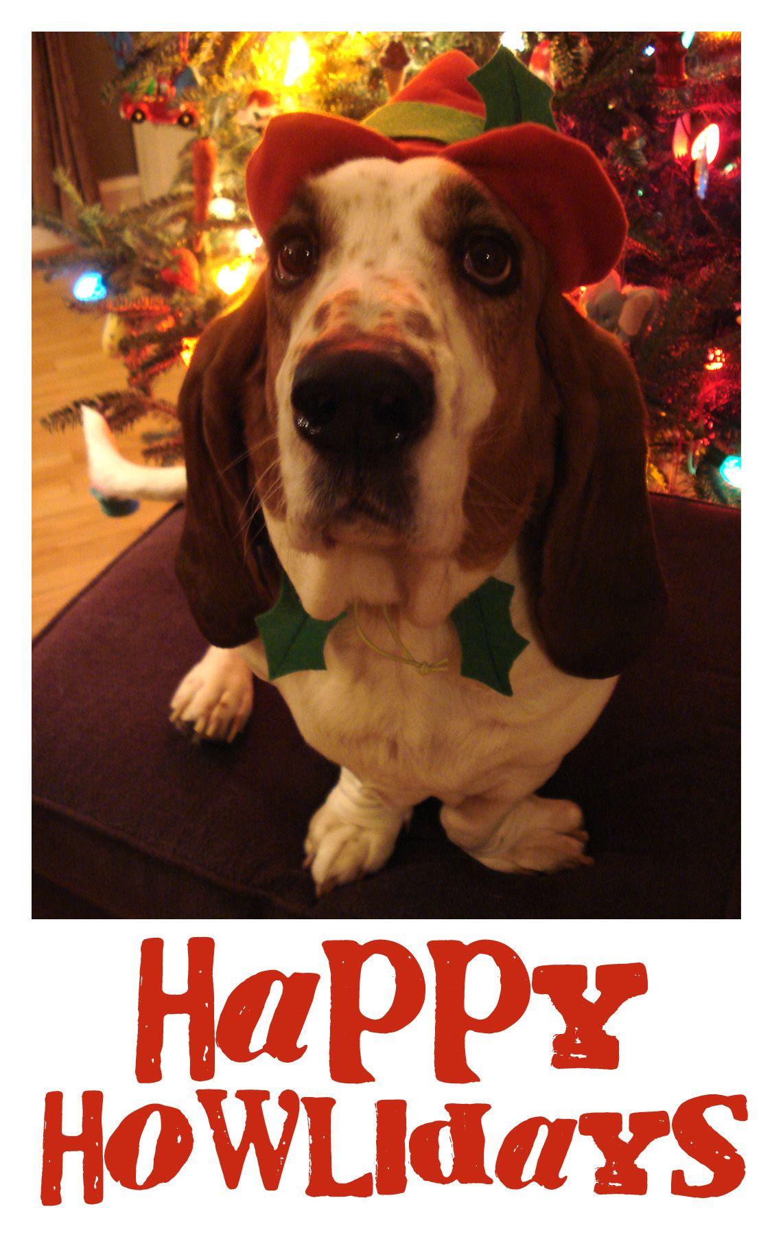 funny dog christmas card with our basset hound gus ;-) #tistheseason ...
