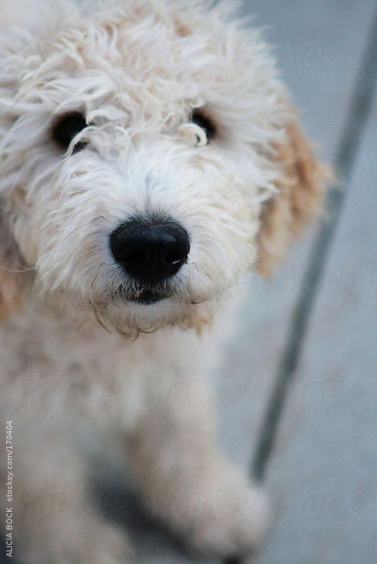 Goldendoodle Puppy by ALICIA BOCK