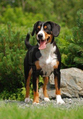 Appenzeller Sennenhund Appenzeller Appenzell Cattle Dog Appenzeller Mountain Dog Entlebucher Sennenhund Sennenhund Hunde