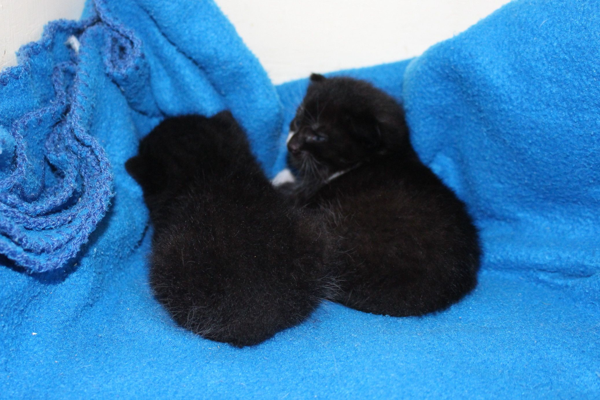 These Little Balls Of Fluff Are Just 2 Weeks Old And Went With One Of Our Amazing Foster Parents For Bottle Feeding