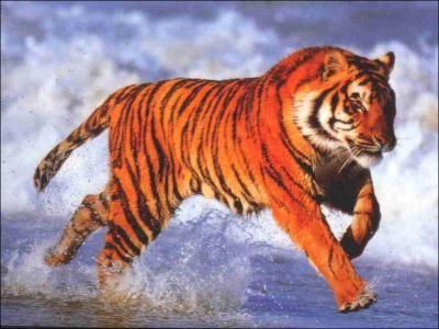 a quelle vitesse maximale court le tigre workshop felin chaton et animaux. Black Bedroom Furniture Sets. Home Design Ideas