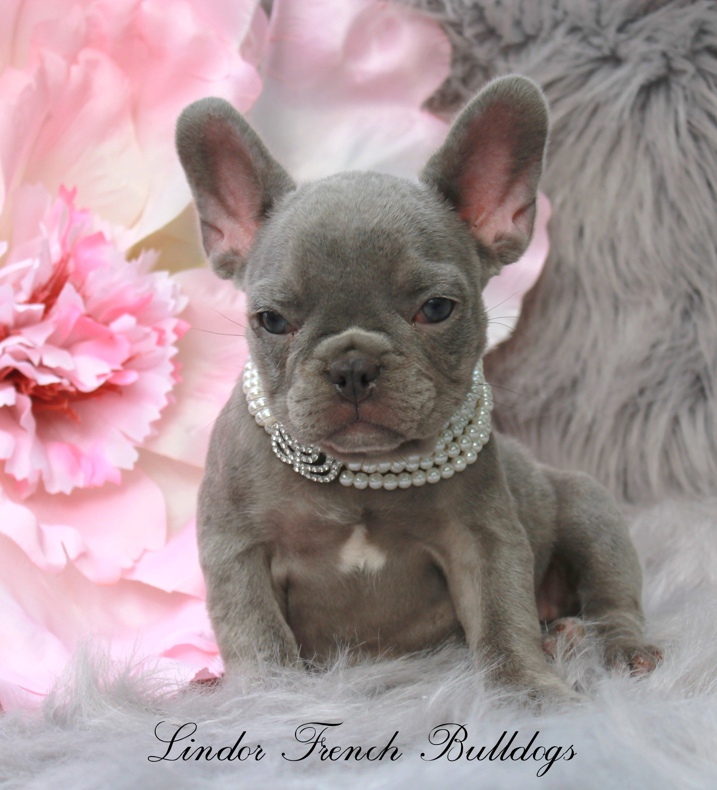 Home Lindor French Bulldogs Frenchies For Sale All