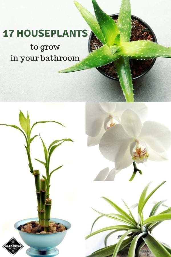 17 Houseplants That Will Grow Better In Your Bathroom is part of Bathroom plants, Hanging plants, House plants indoor, Hanging plants diy, Plants, Indoor plants - by Matt Gibson The bathroom may not be the first place in your home that comes to mind when you envision an indoor container garden lush with houseplants  The warmth and humidity created by someone taking a shower provides a nice tropical environment, but when the shower is over and everyone is asleep, the bathroom …
