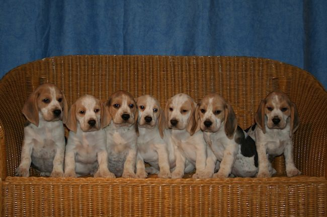 Mottled Beagle Pups Beagle Puppy Beagle Beagle Facts
