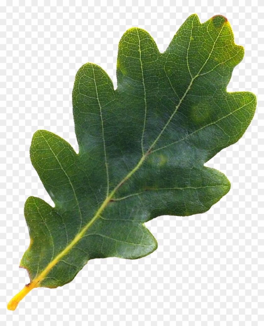 Acorn Leaf Png Oak Tree Leaves Png Transparent Png Acorn Leaf Oak Tree Tree Leaves