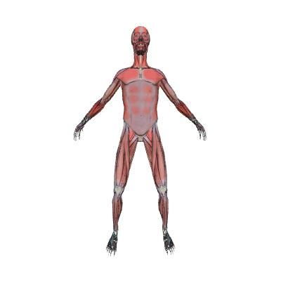 muscular system | human body | anatomy | 3d model | eonexperience, Muscles