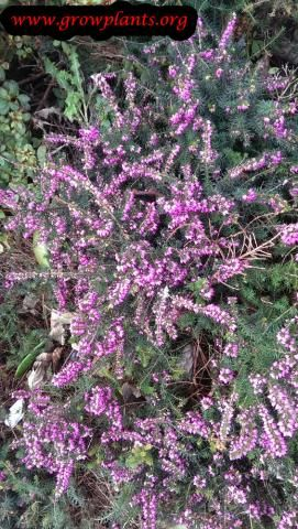 Erica Carnea Flowers Heather Plant Planting Flowers Flowers