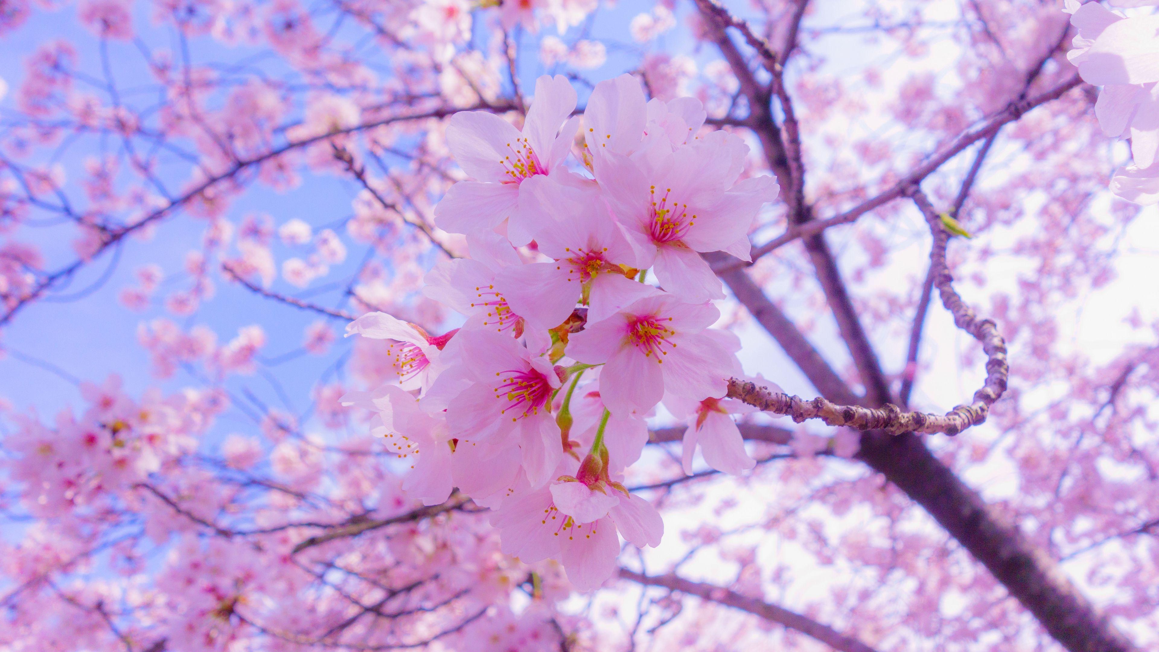 Sakura Flowers 4k Wallpaper Sakura Flower Cherry Blossom Wallpaper Flower Images Wallpapers