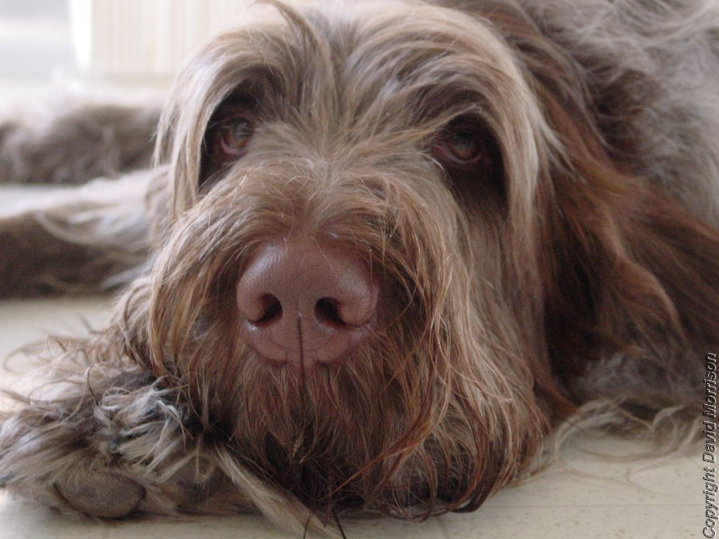 Image of italian spinone brown roan young puppy blue sitting cute - Brown Spinone Italiano Google Search