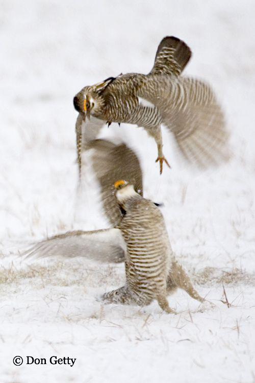 Tympanuchus cupido; Greater Prairie Chicken   Pájaros   Pinterest ...