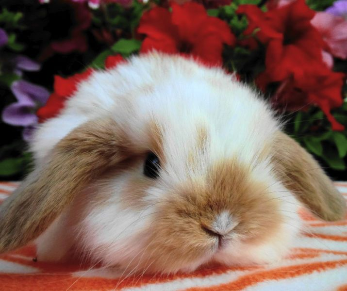 LOTS OF BABY BUNNIES AND RABBITS (dwarf,mini lop,dutch