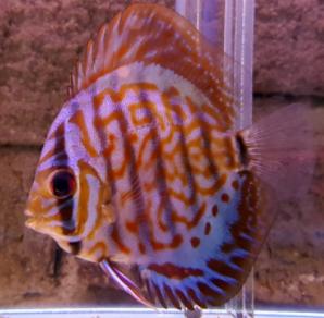 Purple Cobalt Discus Royal Purple Discus Puple Discus Discusguy Discus Fish For Sale Fish For Sale Discus