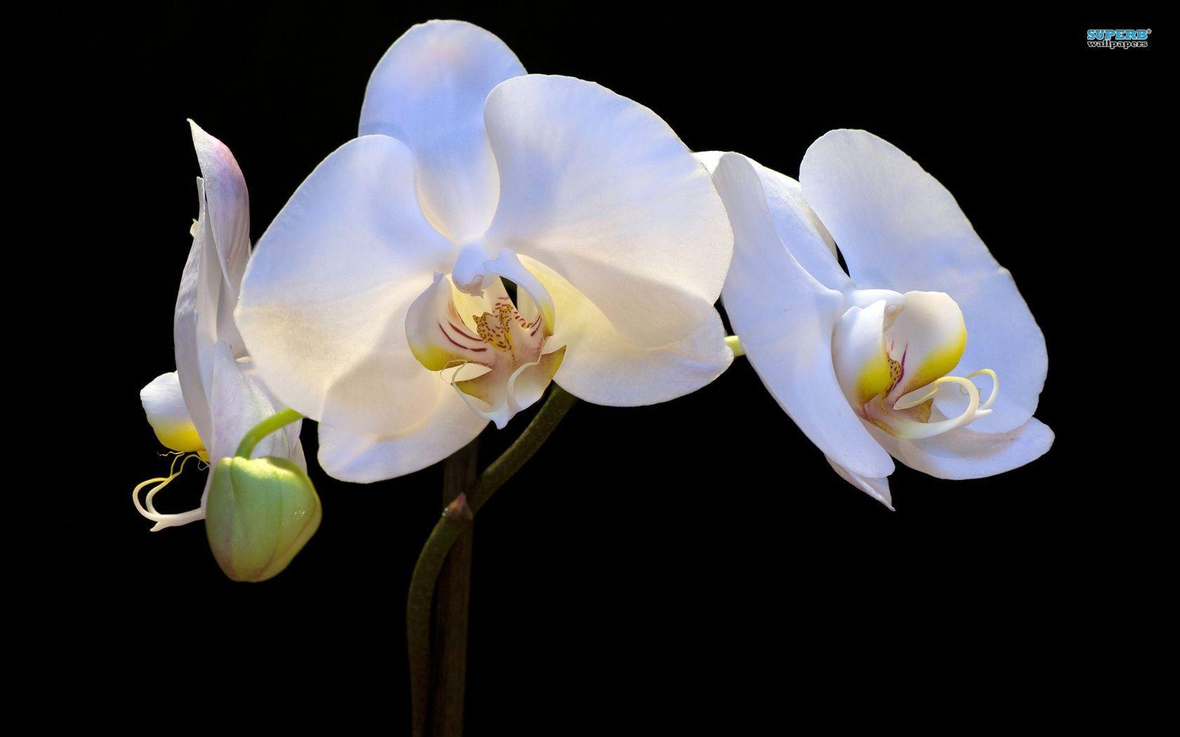 Kptallat A Kvetkezre Orchid Wallpaper Flowers Pinterest