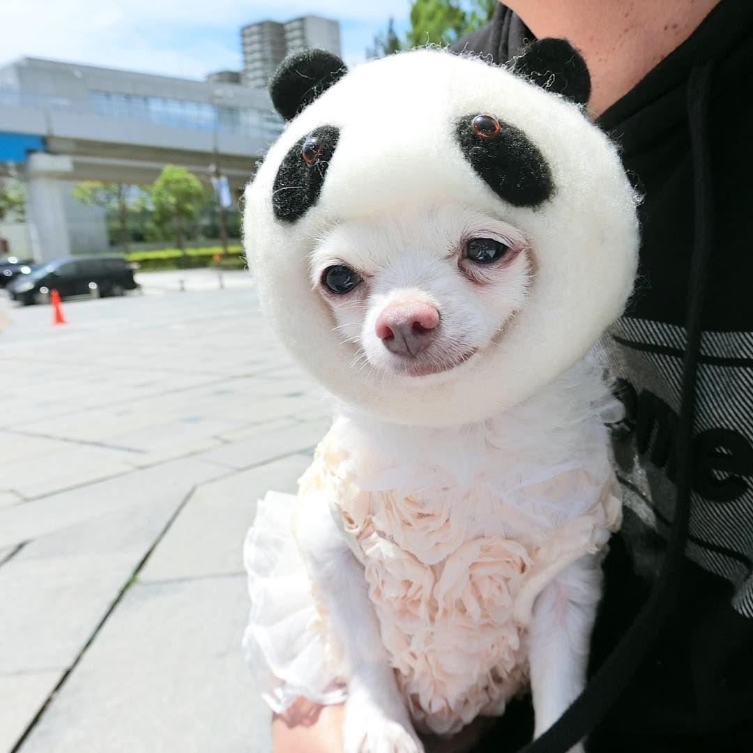 のんちゃんわんわんマルシェで勝手に @pekosandesu さんのパンダをお借りしてPR活動 イベントの時はリュックに一族を入れて参加します パンダがすごいしっくりくる #non #chihuahua#chihuahualife #mylove #dog #dogstagram #instagram #instadaily #instaphoto #instalike #instadog #dogphotography #doglover #dogsofinstagram #dogoftheday #dogs #bestdogever #dailydog #ilovemydog #lovemydog #dogs_of_instagram #ilovedogs  #ノンコレ #甘えん坊チワワ #溺愛 #10ワン10色親バカ会のメンバー #いぬすたぐらむ #犬