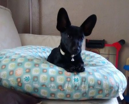 Batman The Black Short Haired Chiweenie Is Laying On A Pillow On A Couch His Ears Are Very Large And Bat Like Stick