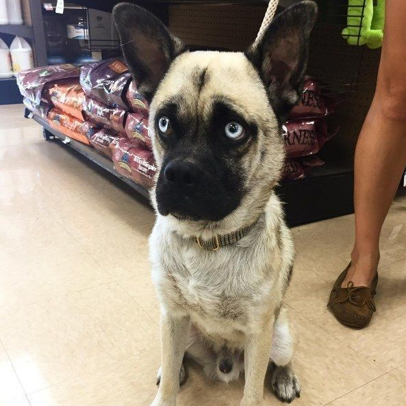 What Happens When You Cross A Pug With Other Dog Breeds Dog